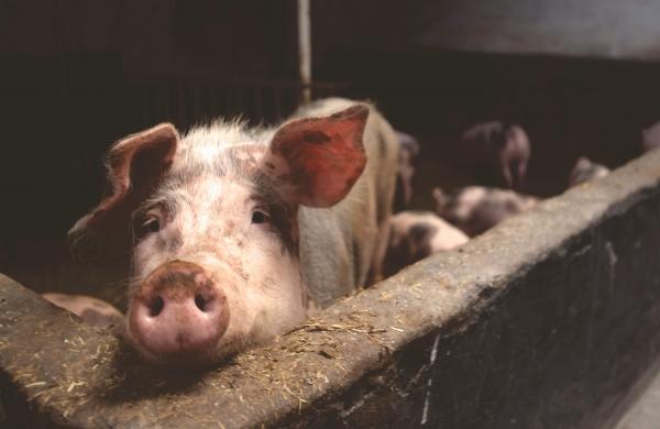 Pigs/ swine flu